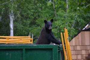A marauding black bear near the author's home in Sudbury, Ontario. Photograph courtesy of Marthe Brown.