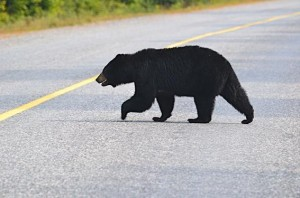 Black bear crossing the highway near Killarney, south of Sudbury. Photograph courtesy of Marthe Brown.