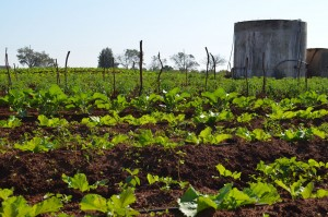 Spinach flourishes with drip irrigation. A cistern collects rainwater and holds pumped water for daily use.