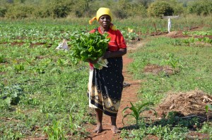 Mamayila Mkhawana harvests spinach; indigenous Amaranthus and Bidens species flourish as edible groundcover.