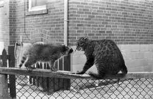 Image of a cat and a raccoon on top of a chain link fence, with their faces close together. 14 July 1964. Photographer: Don Grant, Toronto Telegram fonds, ASC10639. See: https://digital.library.yorku.ca/yul-92693/dogs