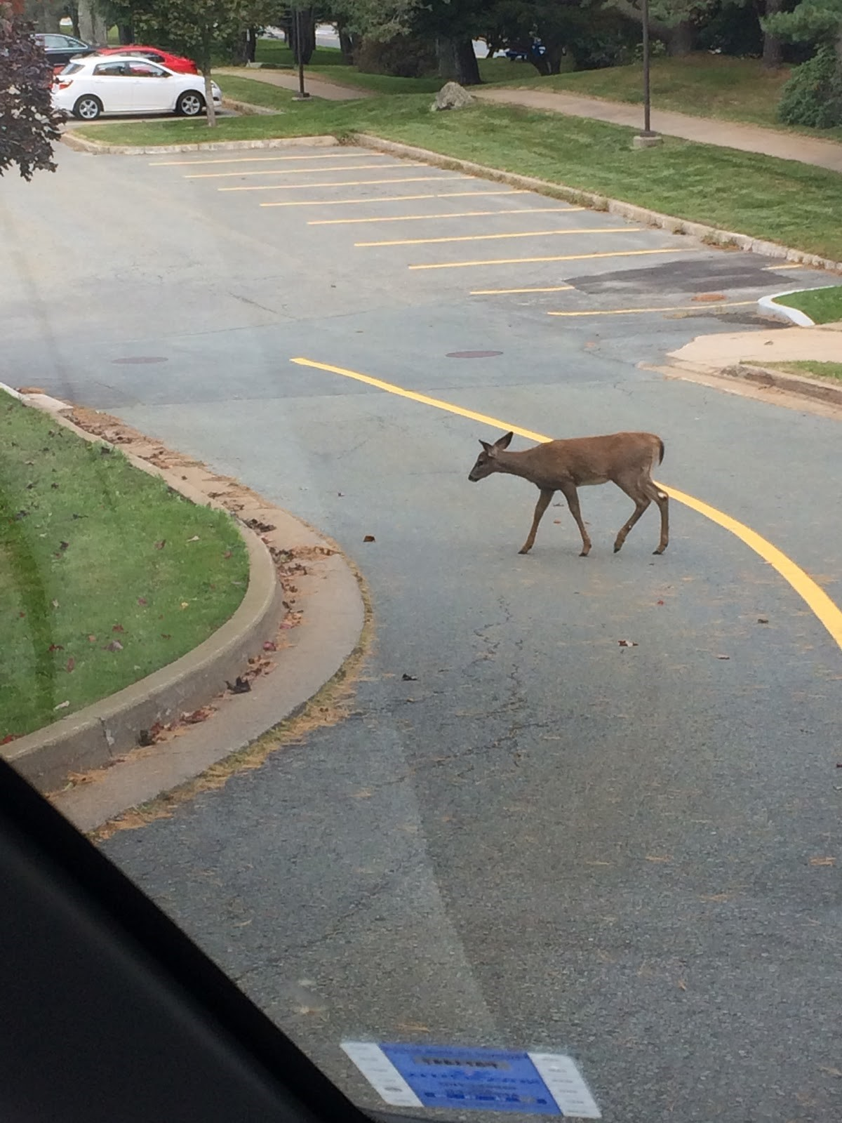 Fawn in a parking lot.