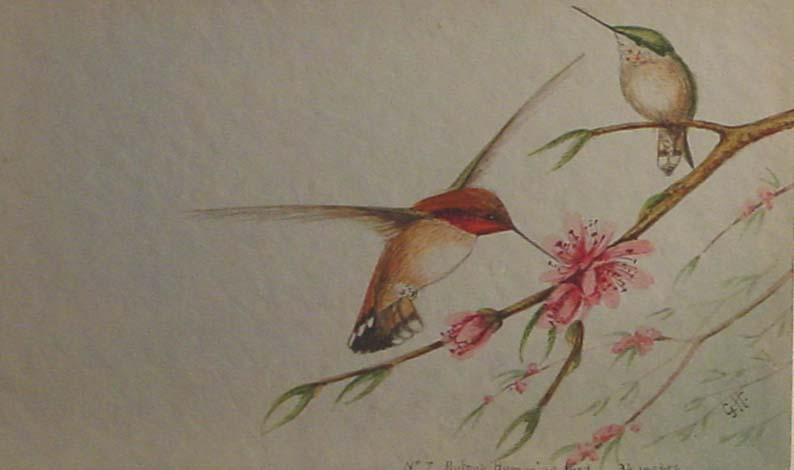Hummingbird watercolour