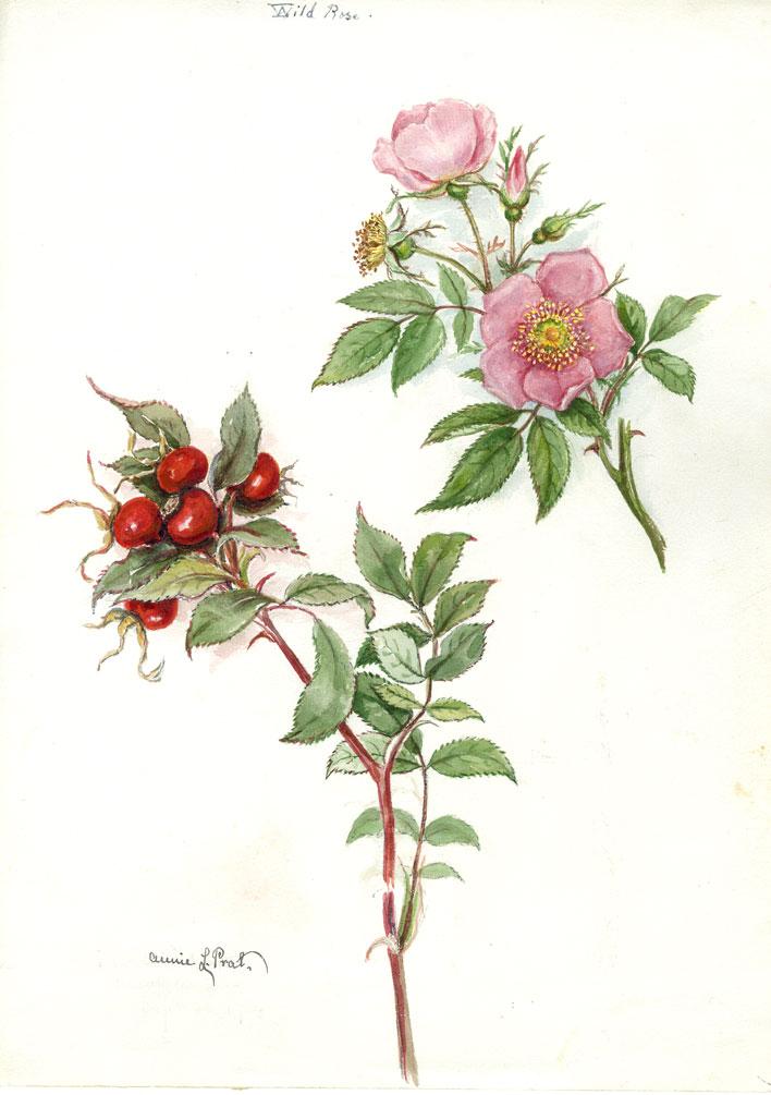 Sketch of wild roses